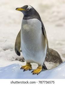 Close-up view of a Gentoo penguin (Pygoscelis papua)