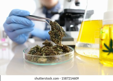 Close-up view of glass container with bunch of dry cannabis. Chemist with tweezer taking material for test under microscope. Flask with yellow liquid. Laboratory and science concept
