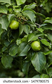 Close-up view go pears on branch in home garden. Homegrown food. Healthy eating concept