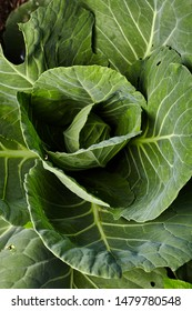 Close-up view of green cabbage on home garden. Homegrown food. Green life concept. Healthy eating concept
