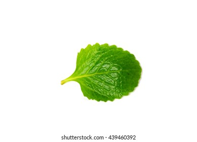 Close-up view a green, fresh picked organic home grown Indian Borage Mexican mint (Plectranthus amboinicus) or Spanish thyme/country borage leaf isolated on white background. Herb and food concept.