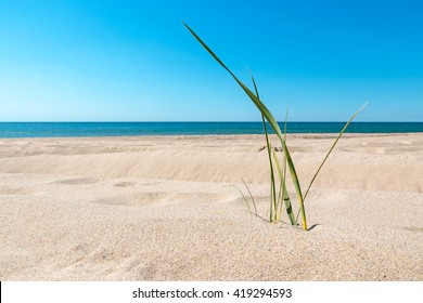 Close-up view of green grass stem on the sandy beach of a Baltic sea