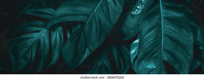 closeup  view of green leaf in garden, dark wallpaper concept, nature background, tropical leaf