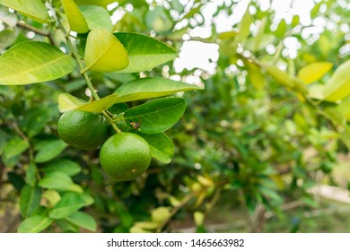 Close-up view of green limes on a tree. Lime Citrus Fruits background. Fresh juicy limes. Healthy food