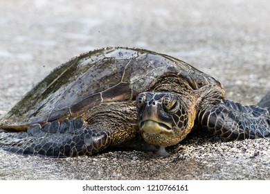 Closeup view of Green sea turtle (chelonia mydas), sunning itself on a Beach in Hawaii's Big Island. Head raised, facing the camera. Flies cover it's shell as it rests on the sand.