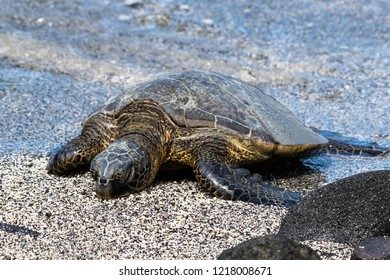 Closeup view of Green sea turtle (chelonia mydas), sunning itself on a Beach in Hawaii's Big Island. Eyes closed, Water from the Pacific ocean in the background.