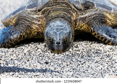 Closeup view of Green sea turtle (chelonia mydas), sunning itself on a Beach in Hawaii's Big Island. Eyes closed.