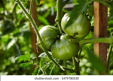 Close-up view of green tomato on branch in home garden. Homegrown food. Green life concept. Healthy eating concept