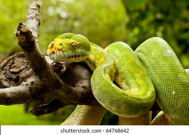 A close-up view of a green tree python slithering on a tree.