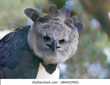 Close-up view of a Harpy eagle (Harpia harpyja)