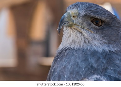 Close-up view of the head of a blue eagle used in falconry