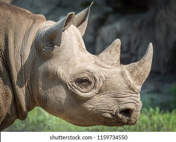 A closeup view of the head and horns of a large adult eastern black rhinoceros.