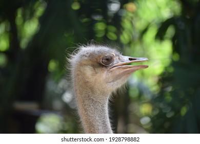 Closeup view of the head of ostrich, cute ostrich bird in the blurry background