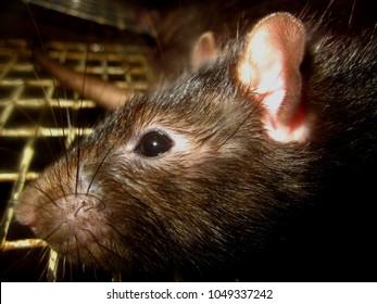 Closeup view of the head of a roof rat. It is a common long-tailed rodent of the genus Rattus.