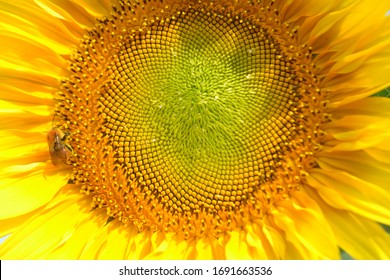 Close-up view to the head of a sunflower with a bee on it under bright sunlight.