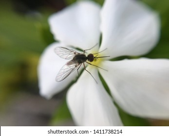 Closeup view of insecto on white flower of Impatiens walleriana / Busy Lizzie/ Patience Plant/ Sultana