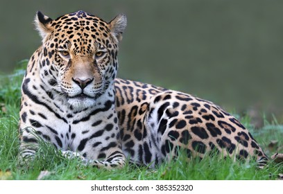 Close-up view of a Jaguar (Panthera onca)