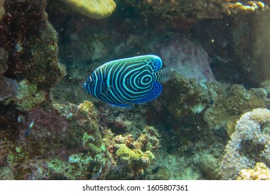 Close-up view of a Juvenile Pomacanthus imperator. Amazing underwater world - Emperor Angelfish juvenile. Fantastic fish of incredible color. Underwater macro photography. Marsa Alam, Egypt.