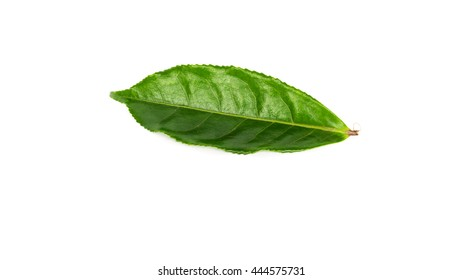 Close-up view a leafy young fresh green tea leaves isolated on white background. Its freshly picked from home growth organic tea plantation. Food concept with clipping path and copy space.
