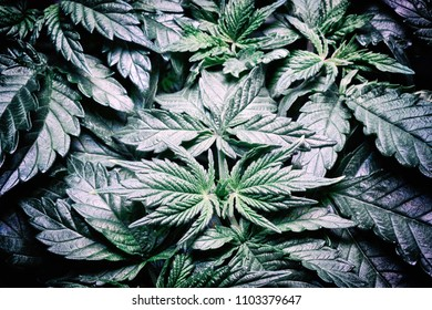 A closeup view of the leaves of a young marijuana plant