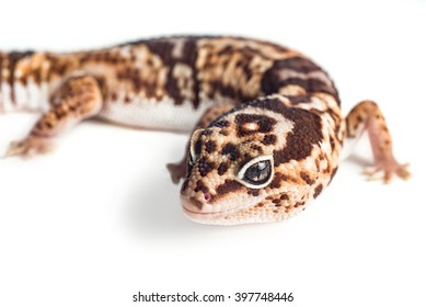 Closeup view of a Leopard Gecko shot on white