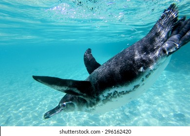 Close-up view of a little Galapagos penguin swimming underwater. Galapagos Island. Ecuador 2015