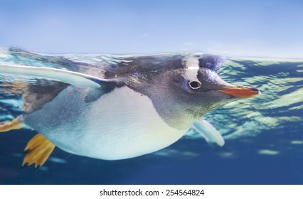 Close-up view of a little gentoo penguin swimming underwater