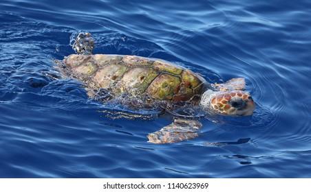 Close-up view of a Loggerhead sea turtle (Caretta caretta) near the coast of island Pico (Azores)
