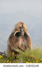 Closeup view of a male baboon in Simien mountains park, Ethiopia