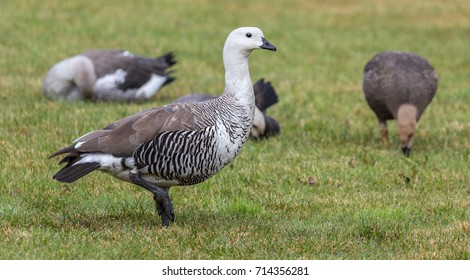 Close-up view of a male Magellan Goose (Chloephaga picta) at Torres del Paine N.P. (chile)