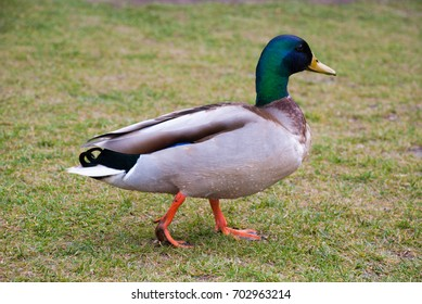 Closeup view of mallard duck