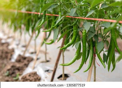 Close-up view of many green chilli crops that are cultivated and grown on the ground in the Thai rural agricultural area.