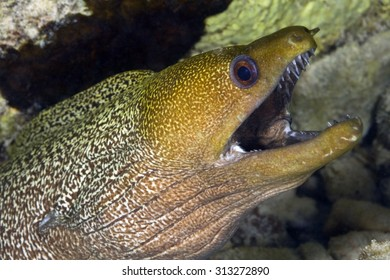 CLOSE-UP VIEW OF MORAY EEL MOUTH OPEN