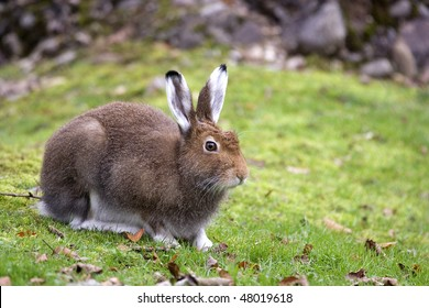 Closeup view of a Mountain Hare (Lepus timidus)
