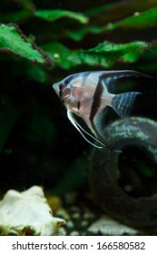 A closeup view on an angelfish in a fish tank.