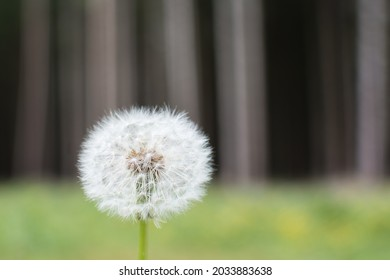Close-up view on dandelion seeds. Dandelion blowball in summer. Copy space.