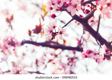Closeup view on freshly blooming sakura cherry blossom