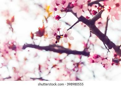 Closeup view on freshly blooming sakura cherry blossom