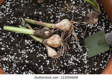 Closeup view on re-potting bulbs plant into a pot of fresh soil mixture with perlite.