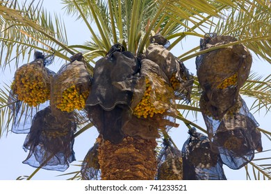 Close-up view on unripe dates on a palm tree covered with mesh in the area of the reserve of Ein Gedi. Israel.