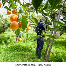 Closeup view of oranges on the tree of a grove during harvest season