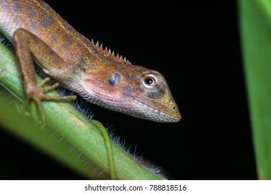 closeup view of a oriental garden lizard in nature
