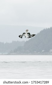 Closeup view of an osprey diving into Puget Sound in Seattle