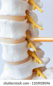 Close-up view of a pencil pointing the anatomy of human lumbar spine intervertebral disc model