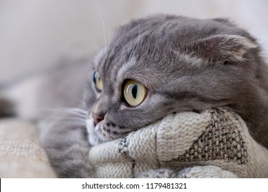 Close-up view of pensive grey Scottish Fold cat on a pillow. The concept of being in melancholy and loneliness or nostalgia