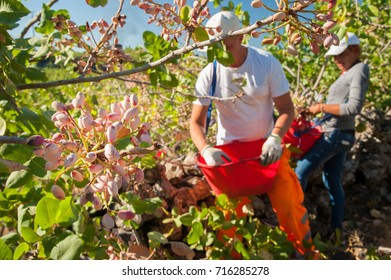Closeup view of a pistachio bunch on tree and a picker at work in the background, Bronte, Sicily