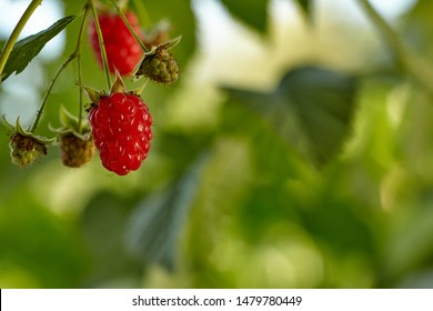 Close-up view of raspberries on branch in home garden. Homegrown food. Healthy eating concept.