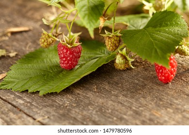 Close-up view of raspberries on wooden background. Copy space Home garden. Healthy eating concept.