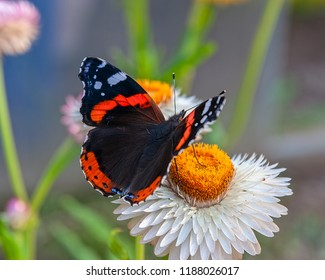 Close-up view of red admiral butterfly (Vanessa atalanta or red admirable) sitting on the bright yellow flower head. Selective focus with shallow depth of field.