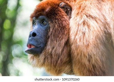 Closeup view of a red howler monkey near Coroico, Bolivia